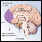 Amygdala-Prefrontal cortex